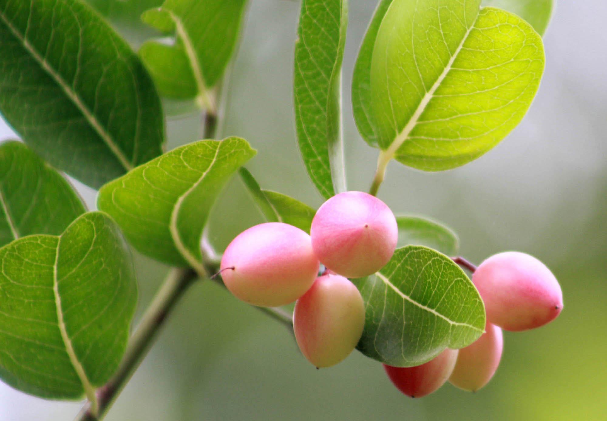 করমচা টক জাতীয় স্বাদের ছোট প্রকৃতির একটি ফল। করমচার বৈজ্ঞানিক নাম: ক্যারস্সিা কারান্ডাস।